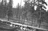 Arizona Lumber and Timber Company lumberman in forest